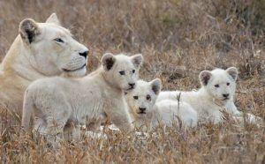 Où voir le lion blanc ? Dans la réserve de Timbavati, au parc Kruger en Afrique du Sud. Ici une famille de lions blancs