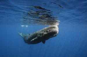 faune de île Maurice : Baleine cachalot