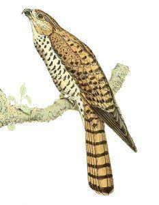 faune de île Maurice : faucon crécerelle de Maurice