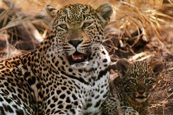 Londolozi und seine Leoparden: Alles begann mit dem Weibchen Mother Leopard