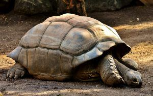 faune de île Maurice : tortue géante