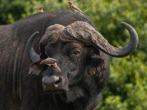 animaux d'afrique : buffle d'afrique et piqueboeuf à bec rouge