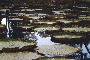 vacances à l'île maurice : nénuphar du jardin pamplemousse à Maurice