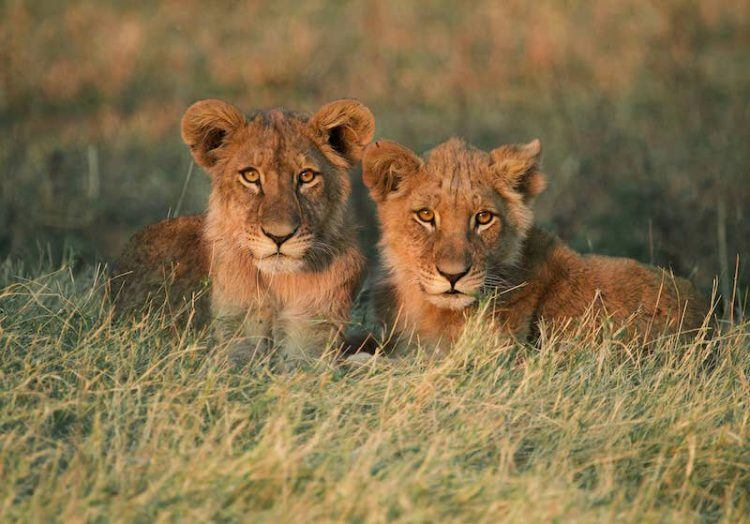Two lion cubs in Botswana