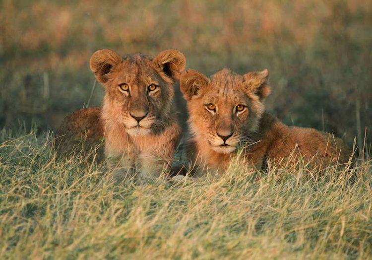 Lion cubs in the Okavango
