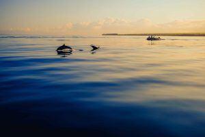 faune de île Maurice : dauphins