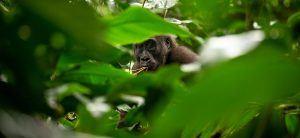 Afrique de l'Ouest   Gorille des plaines occidentales
