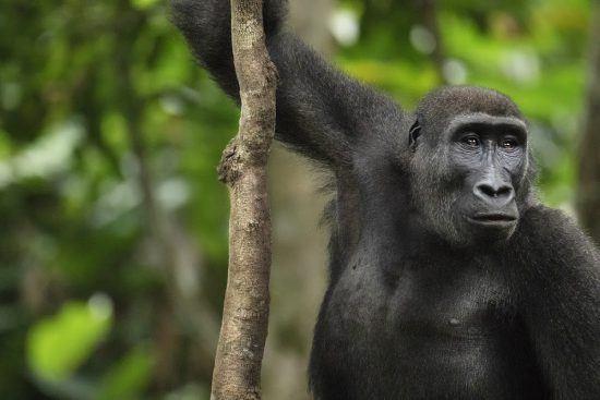 Westlicher Flachlandgorilla im Regenwald der Republik Kongo