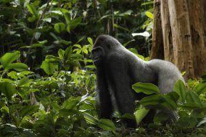 Afrique l'Ouest   Le mâle dominant dit Silver Back