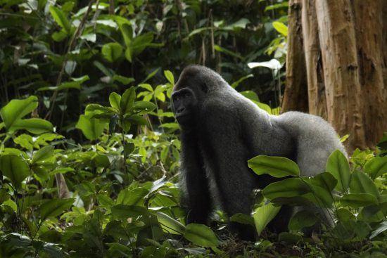 Pasea entre gorilas casi como si fueras uno más de ellos.