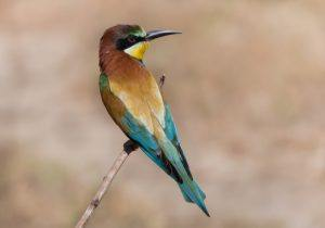 The European bee eater