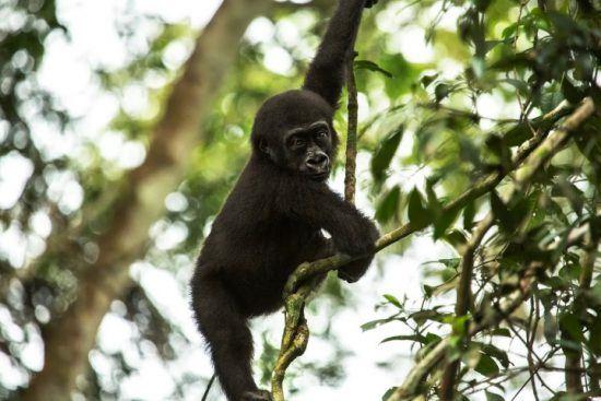 Bassin du Congo | Bébé gorille des plaines occidentales