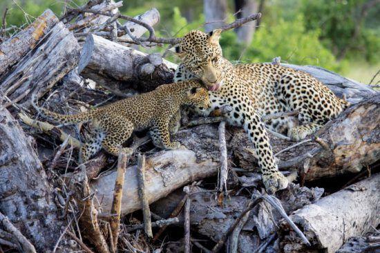 Météo au Parc Kruger | Femelle léopard et son petit