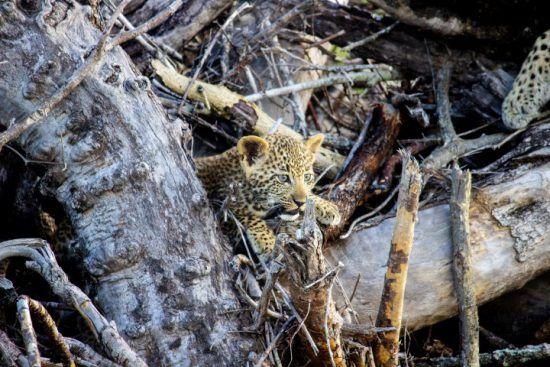 Leopardennachwuchs erkundet das Sabi Sand Game Reserve