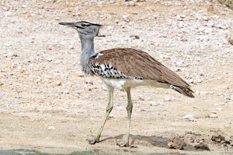 Largest flying bird in Africa, the Kori Bustard