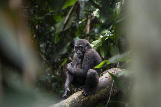 Los gorilas están habituados a la presencia de humanos y no intentarán atacar o huir