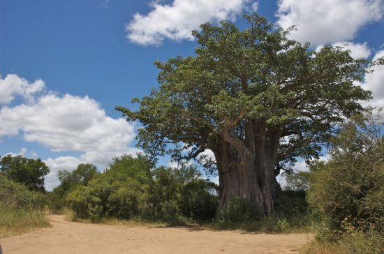 Ein großer Baobab im Krüger Nationalpark