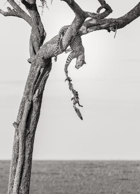 Ein Leopard auf einem Baum hält an seiner herunterfallenden Beute fest - Gewinnerfoto bei Africa's Photographer of the Year 2018