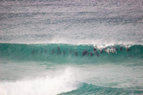 Delfine schwimmen in einer Welle vor der Lekkerwater Beach Lodge