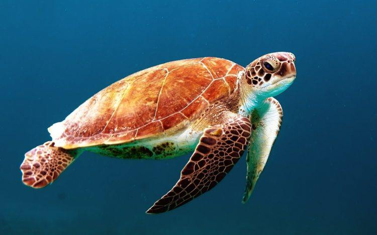 The animals at Phinda Priate Game Reserve are fascinating, like this loggerhead turtle swimming in the Indian Ocean
