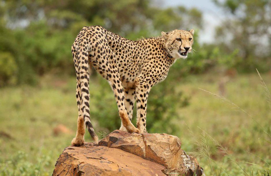 Guépards dans la réserve privée de Phinda