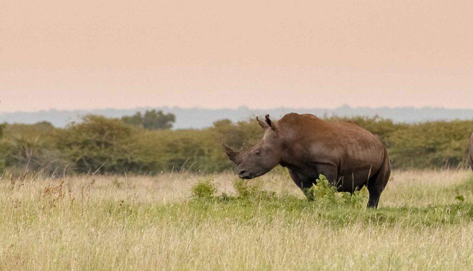 Rhinos Saving Rhinos: Ein Breitmaulnashorn in KwaZulu-Nata