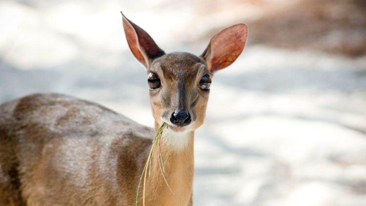 Rare Suni Antelope