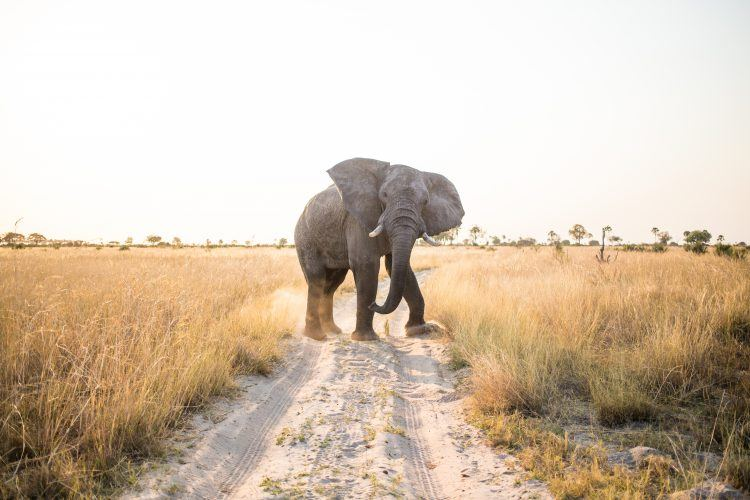 An elephant in Chobe National Park