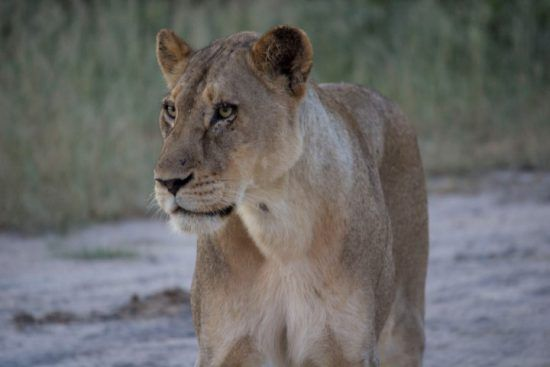Nahaufnahme einer Löwin - aufgenommen auf einer Krüger-Nationalpark-Safari