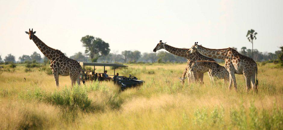 De cerca con jirafas en el delta del Okavango