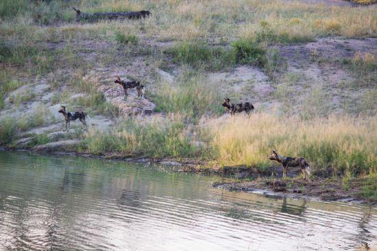 Afrikanische Wildhunde umzingeln ein Wasserloch