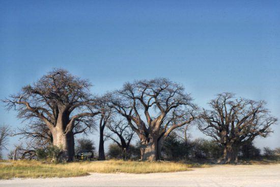 Désert du Kalahari | Les baobabs de Baines