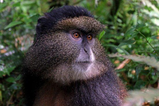 Tourisme au Rwanda   Singe doré