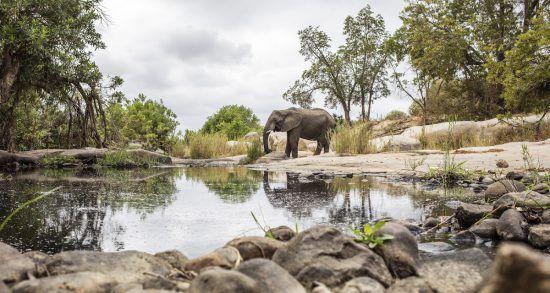 Ein Elefant im Krüger Nationalpark spiegelt sich in einem kleinen Wasserloch