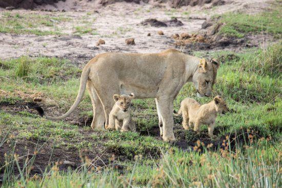 Löwin mit niedlichem Nachwuchs im Welgevonden Game Reserve