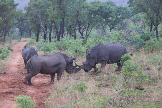 Zwei männliche Breitmaulnashörner kämpfen um ein Weibchen im Welgevonden Game Reserve