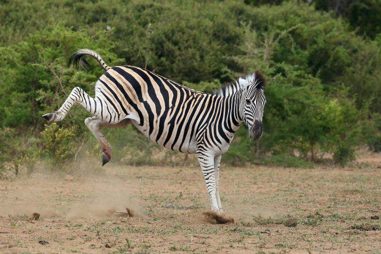 Dancing zebra kicking hooves in African bush