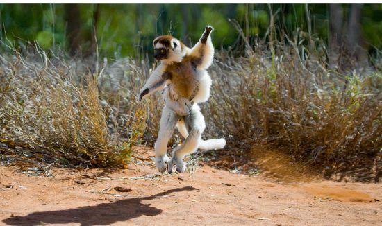 Our Home Safari: Ein Affe tanzt und springt herum