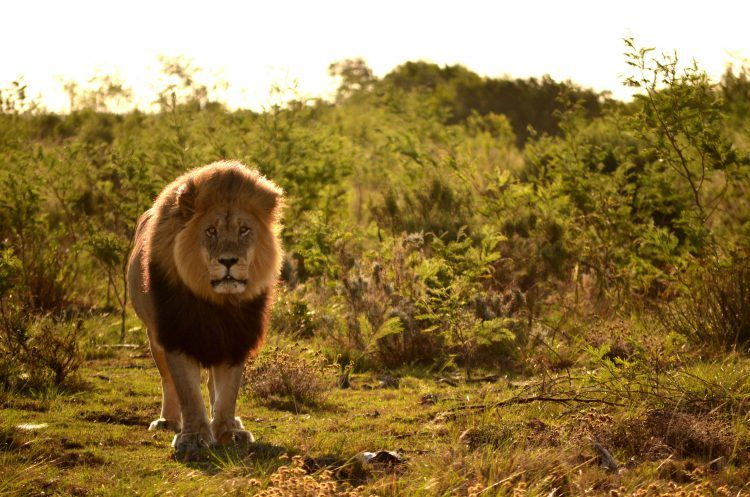 Lion walking in Gondwana Game Reserve