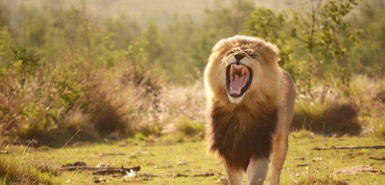 Südafrika öffnet Grenzen am 1. Oktober 2020 - Erleben Sie wieder Löwen in freier Wildbahn