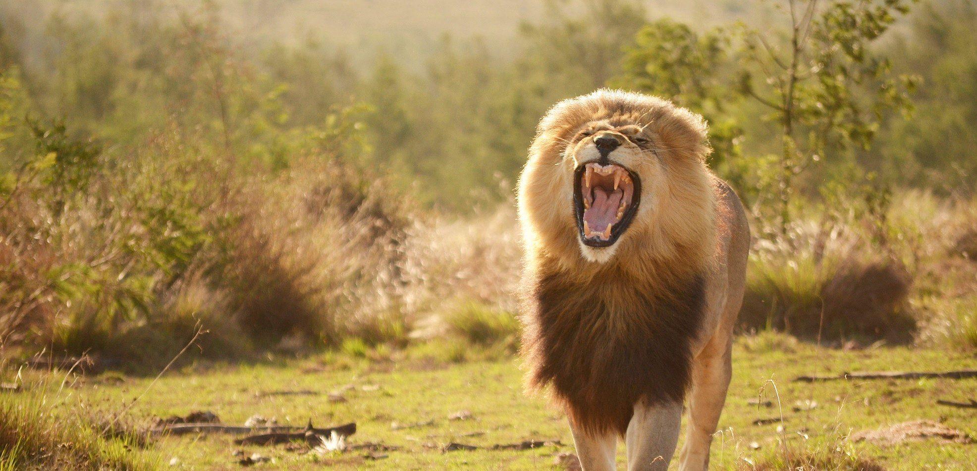 Lion roaring in Gondwana Game Reserve