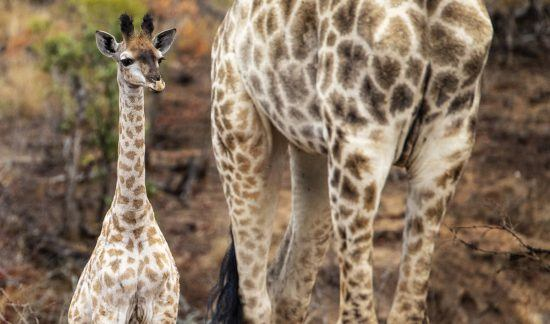 Baby and mom giraffe in the Kruger National Park, South Africa
