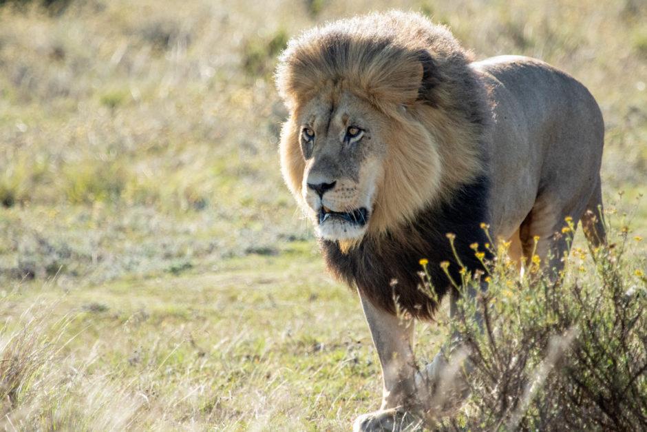 A Rota Jardim é o lar de alguns dos leões machos mais magníficos da África