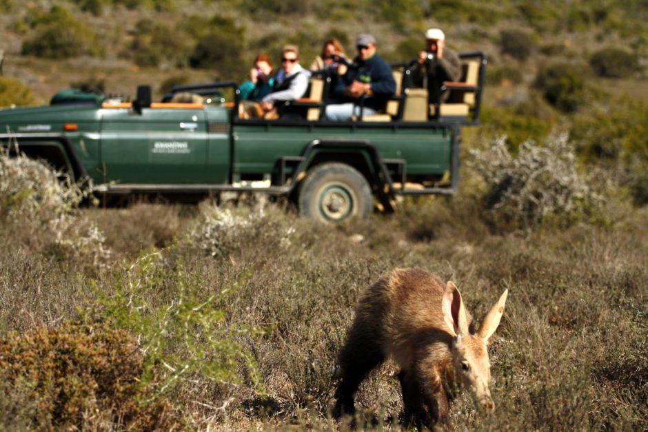 Aardvarks in Kwandwe - an amazing sighting