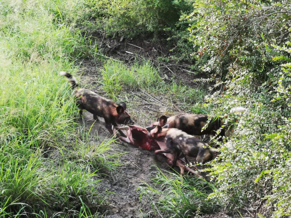 wild dogs kill inside the camp at Silvan