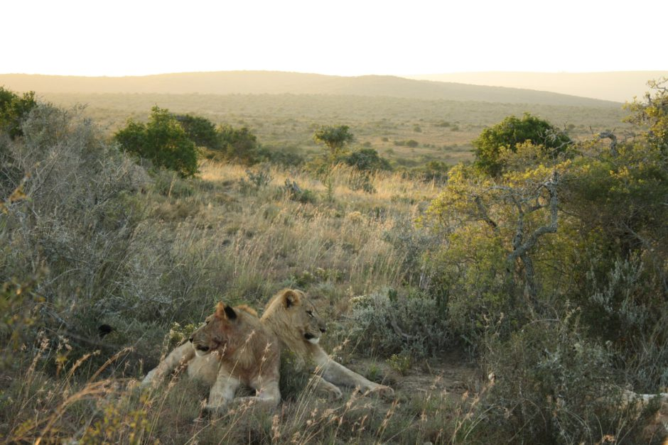 Lions showing off Kwandwe's expensive landscapes