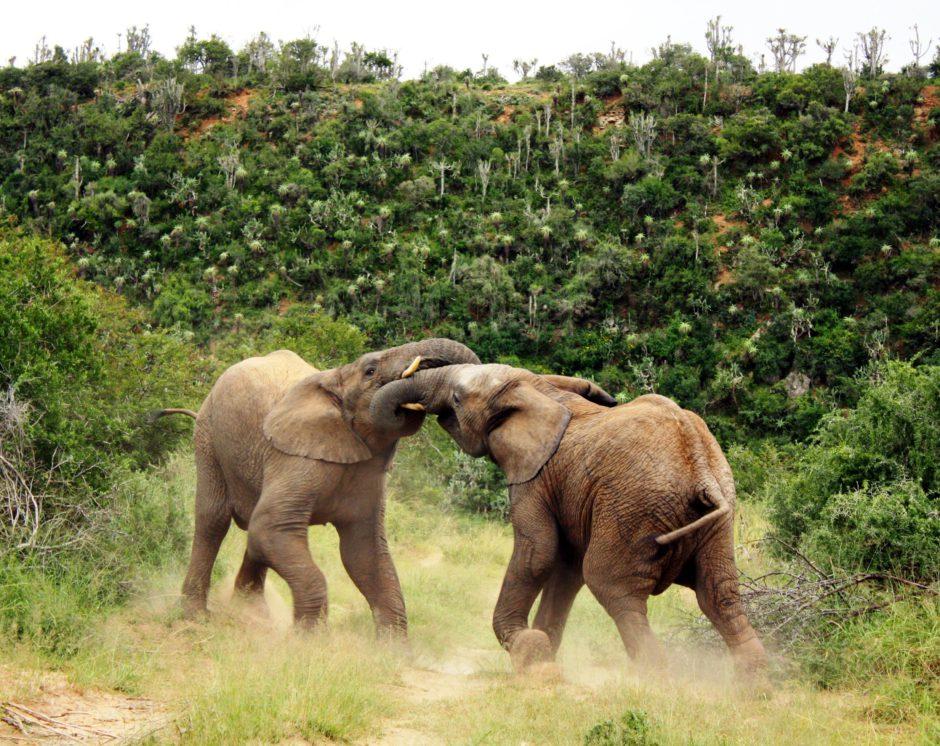 Elephants playing in Kwandwe