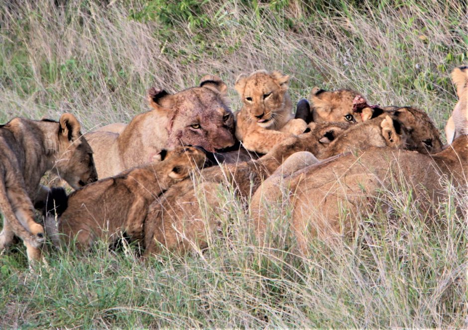 Lions on a wildebeest kill at Senalala Safari Lodge