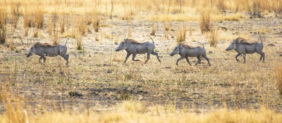 Un fila de Timbas - Senalala Safari Lodge