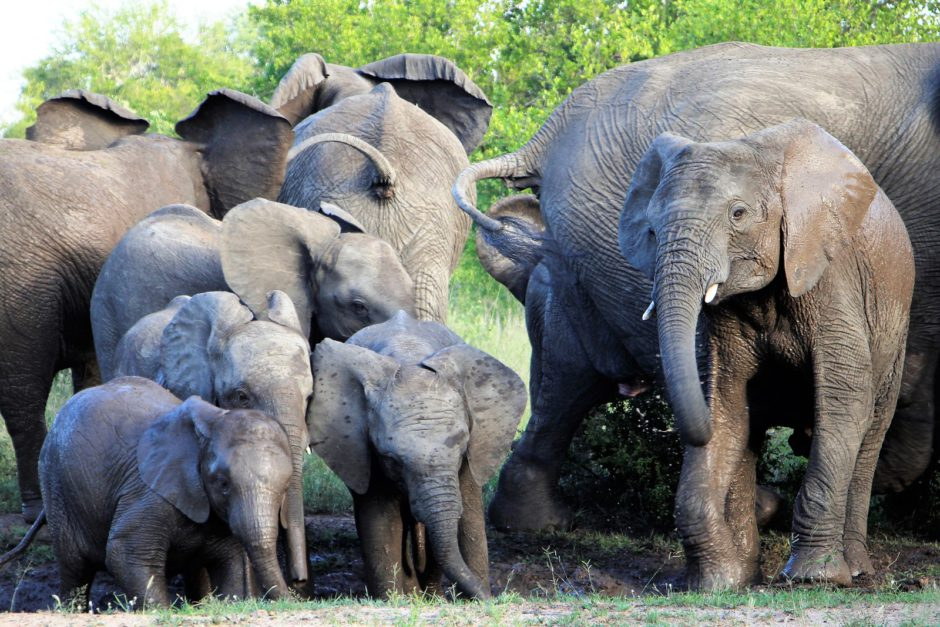 Herd of elephants at Thornybush